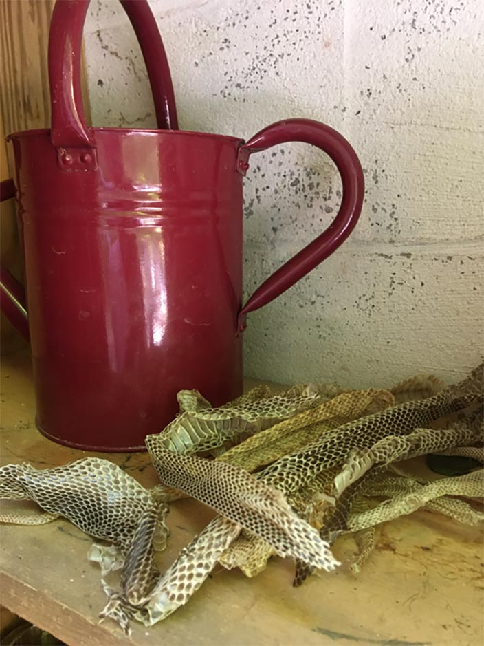 Copperhead & Black Snakeskins in the storage cupboard, Tina Barr